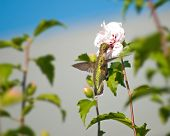 Ruby-throated Hummingbird feeding on an Althea flower