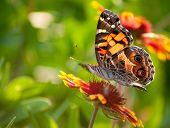 Cynthia virginiensis butterfly feeding on a bright Indian Blanket flower