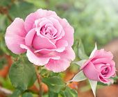 Beautiful pink rose in a garden