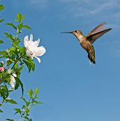 Ruby-throated hummingbird hovering and getting ready to feed on an Althea flower