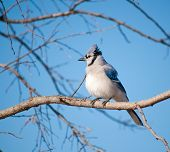 picture of fluffing  - Fluffed up Blue Jay - JPG