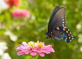picture of zinnias  - Green Swallowtail butterfly feeding on a pink Zinnia in sunny summer garden - JPG