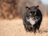 Rugged, bater em preto e branco tomcat vadio caminhando em direção de espectador com um olhar ameaçador