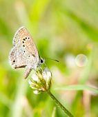 kleine Reakirt blauer Schmetterling, Echinargus Isola, Fütterung auf weiß-Klee
