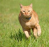 Orange tabby cat running fast towards the viewer in green grass
