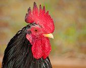 Gallo gallo japonés manchado hermoso