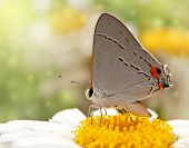 Dreamy image of a Gray Hairstreak butterfly on a Shasta Daisy flower