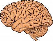 Постер, плакат: Мозг