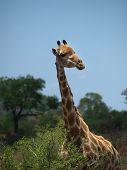 Giraffe Against African Sky