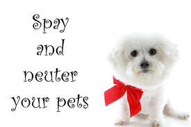 stock photo of spayed  - A Pure breed Bichon Frise wears a red bow with  - JPG