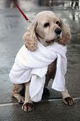 Cocker Spaniel In A Towel