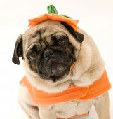 Halloween Pug Isolated