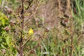 Goldfinch and bull thistle