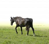 picture of feedlot  - a dark brown horse walking in green pasture - JPG