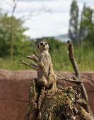 A Meerkat Sentry Alert To Warn Of Danger