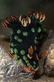 Dusky Nembrotha Nudibranch Feeding