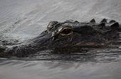 foto of crocodilian  - American alligator in the Florida Everglades National Park - JPG