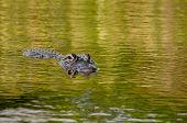 image of crocodilian  - American alligator swimming in swamplands of the  Florida Everglades - JPG