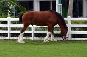 A Clydesdale Eating By The Fence.