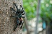 image of creepy crawlies  - The bird eater tarantula is an habitant of the amazon rain forest - JPG