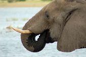 Elephant drinking, Botswana, Africa