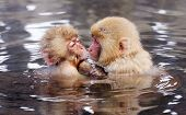 Japanese Snow Monkeys (macaques) in Nagano, Japan.
