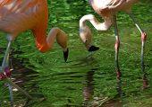 Two Flamingos Drinking