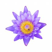 Purple Lotus Isolated On White Background