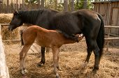 Photo of sorrel foal and his mother.