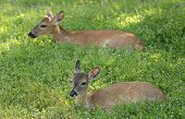 Deer  Resting In A Meadow