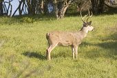 picture of blacktail  - California Blacktail buck watching intensely for danger - JPG