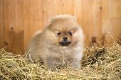 foto of miniature pomeranian spitz puppy  - Pomeranian puppy on a straw on a background of wooden boards - JPG