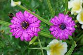 Purple Osteospermum Flowers