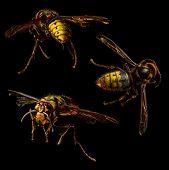 picture of hornets  - Group of hornet macro on black background - JPG
