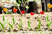 pic of six-petaled  - six standing in a row of blossoming tulips - JPG
