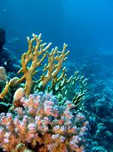 image of fire coral  - coral reef with yellow fire and hard corals at the bottom of red  sea in egypt - JPG