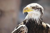 Spanish Imperial Eagle portrait close-up