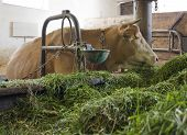 stock photo of feedlot  - head of a cow inside of a cow barn in Southern Germany - JPG