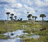 stock photo of wetland  - Florida Wetlands With Birds And Alligators - JPG