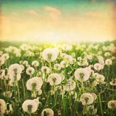 stock photo of dandelion  - Dandelion field at sunset in grunge and retro style - JPG