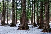 Thuja Forest