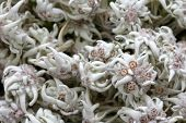 pic of edelweiss  - Dried mountain flower  - JPG