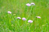 Succisa Pratensis Flowers
