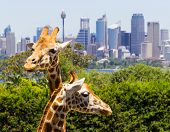 stock photo of cbd  - Giraffes in Taronga Zoo with a magnificent view of the skyline of the CBD of Sydney in Australia