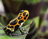 stock photo of pet frog  - poison arrow frog on leaf in Amazon rain forest - JPG