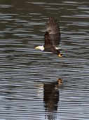stock photo of fish-eagle  - A bald eagle just swooped in and caught a fish from the lake.