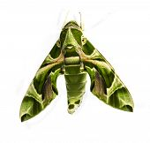 image of hawk moth  - Green Oleander Hawk moth on white background - JPG