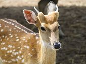 Female Of Sika Deer.