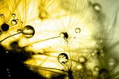 picture of dandelion seed  - Abstract macro photo of plant seeds dandelion with water drops - JPG