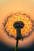 Dandelion Flower In The Sun